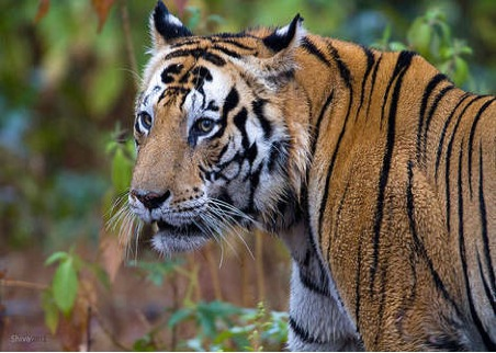 Spotting Elusive Tigers