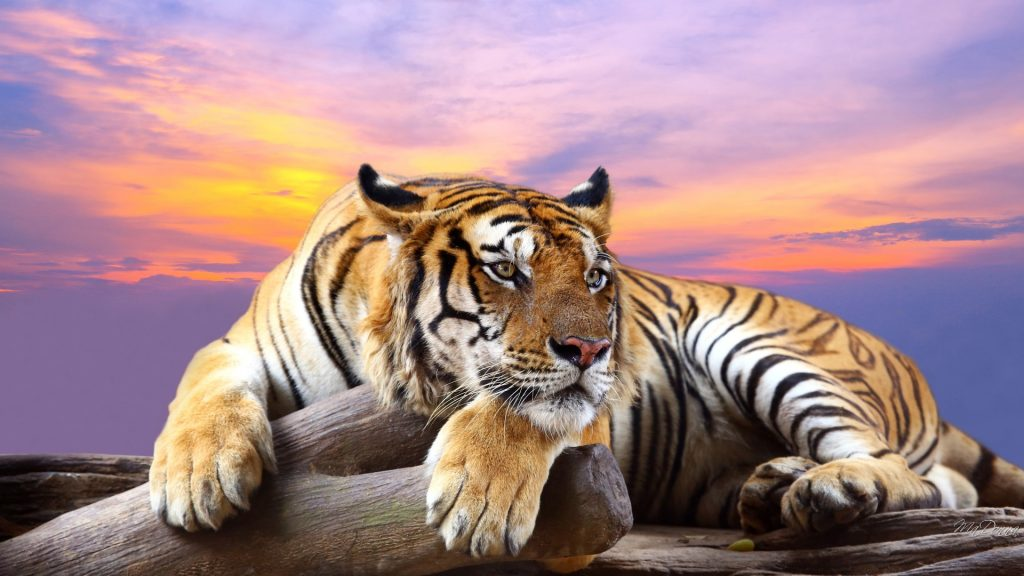 The true scale of tiger selfie tourism in Thailand